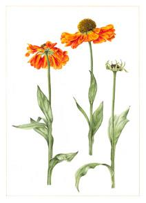 Limited Edition Helenium 'Moerheim Beauty' Print